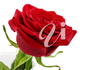 Beautiful red  rose flower. Isolated