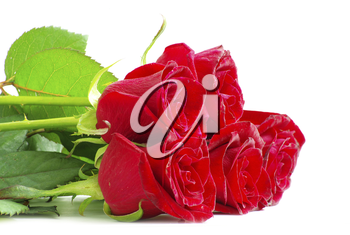red roses on a white background with space for text