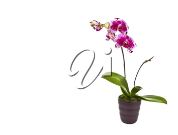 Blooming orchid in pot with moss on white background