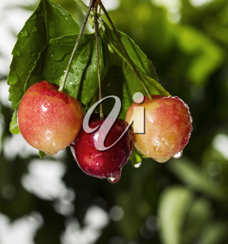 Fresh Washington State Rainier Cherries hanging from tree in summer
