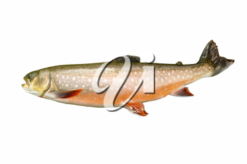 Horizontal photo of a rare mature Dolly Varden Trout in spawning colors isolated on white background