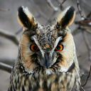 Screech-owl portrait. Closeup shot in nature scenics.