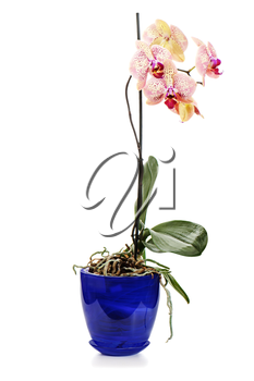 orchid arrangement centerpiece in blue vase isolated on white background