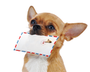 Royalty Free Photo of a Chihuahua With an Airmail Envelope