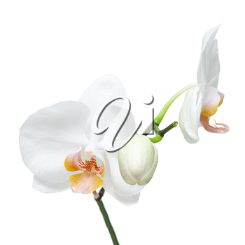 Fife day old white orchid isolated on white background. Closeup.