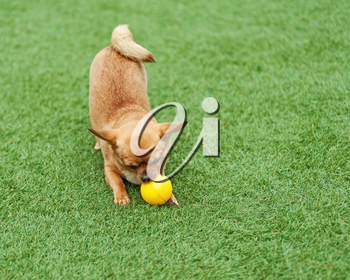 Red chihuahua dog and yellow ball on green grass.
