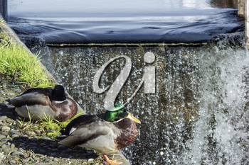 ducks in the city at the waterfall