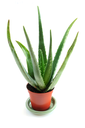 Aloe plant in a pot isolated on white background