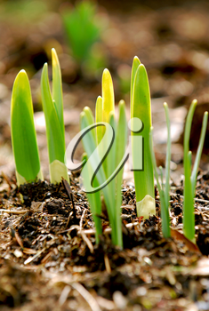 Shoots of spring flowers in early spring garden