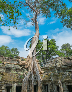 Big tree at Ta Prohm Temple, Angkor Wat, Cambodia, Southeast Asia