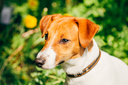 Dog jack russel terrier on green grass meadow outdoors