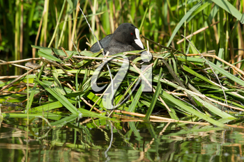 Common coot sitting on a nest (spring)