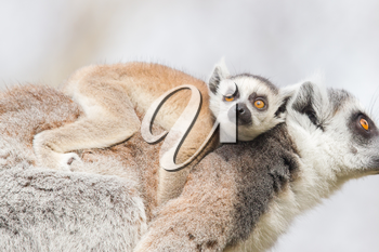 Ring-tailed lemur (Lemur catta) with a young on it's back