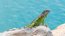 Green Iguana (Iguana iguana) sitting on rocks at the Caribbean coast