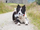 Border collie sheepdog waiting with a plastic bottle