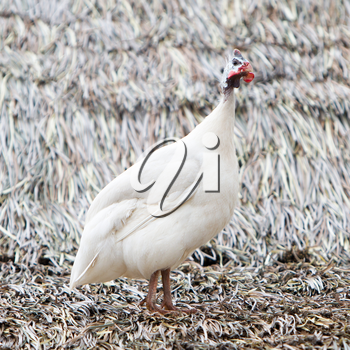 White guinea fowl standing on a roof