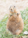 Black-Tailed prairie dog in it's natural habitat, eating grass