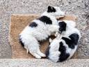 Two Border Collie puppies sleeping on a farm