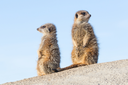 Meerkat on guard duty, cute and furry