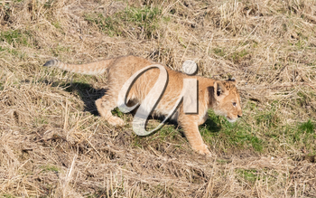 Lion cub exploring it's surroundings in the winter