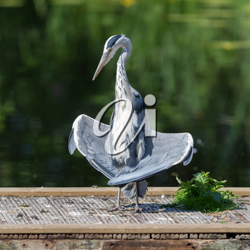 Great blue heron standing in a funny position