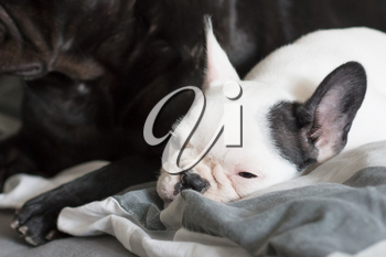 French bulldog puppy sleeping with an adult one, selective focus