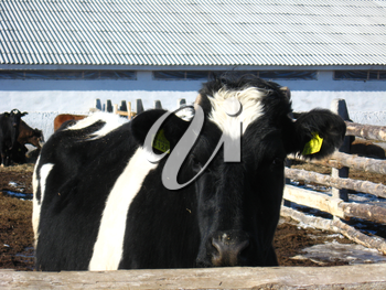 The black-and-white cow living on a farm