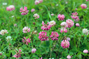 a lot of pink and red flowers of clover
