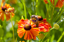 honey bee collects nectar from gaillardia flower close up