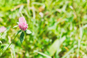 red clover flower (Trifolium pratense) on green meadow in summer day