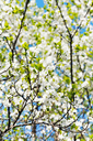 cherry branch and white blooming cherry tree crown in sunny spring day