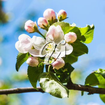 bloom on blossoming apple tree close up in spring with blue sky background