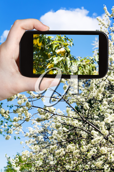 garden concept - farmer photographs picture of ripe yellow apples on branch with blossoming apple tree on background on smartphone