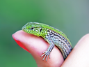 Little green lizard on a woman finger taken closeup.