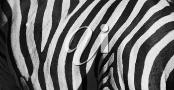 blur in south africa   kruger  wildlife    nature  reserve and  wild zebra skin abstract background