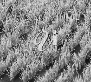blur  in   philippines  close up of a rice    cereal cultivation field