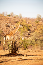 blur in south africa    kruger  wildlife    nature  reserve and  wild giraffe