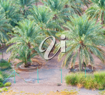 and the cultivation of palm fruit from high in oman garden