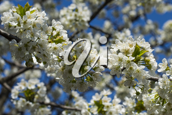 the bee collects nectar from a branch of the blossoming sweet cherry, close up