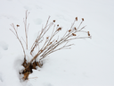 Dried herb of burdock sticking among snow