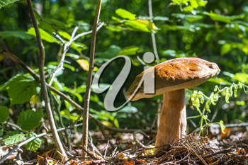 Big mushroom grows in sunny wood. Natural organic plants and bolete growing in wood