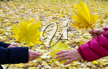 Side view of the hands of young girls and women closeup, who hold yellow maple leaves on the background of fallen autumn leaves.