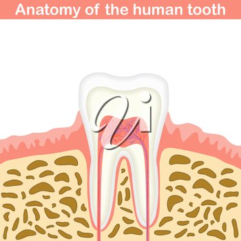 Anatomy of human tooth illustration, unmarked medical scheme, 2d vector on white background, eps 8