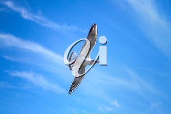 White seagull flying on blue sky background with windy clouds