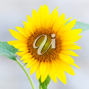 Young yellow sunflower closeup photo on gray background