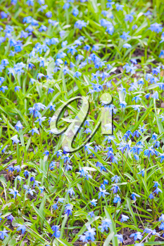 Scilla sibirica. Bright blue spring flowers background. Vertical photo with selective focus and shallow DOF