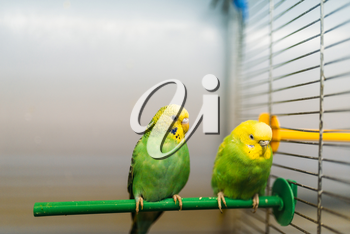 Two parrots sitting on a stick in pet shop, closeup. Birds in zooshop