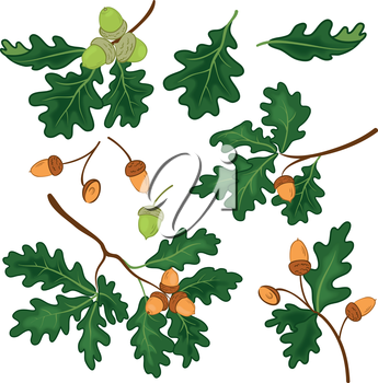 Set oak branches with green leaves and acorns on a white background. Eps10, contains transparencies. Vector