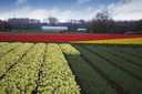pink, red and orange tulip field in North Holland during spring