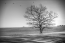 Without leaves a tree in the field stands. Crows are flying. Black and white photography. minimalism